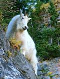 Mountain goat on the edge.