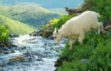 baby mountain goat approaching stream.jpg
