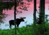 Bull moose in the early morning.