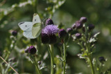4488 Holland Ponds - Cabbage White Butterfly