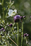4490 Holland Ponds - Cabbage White Butterfly