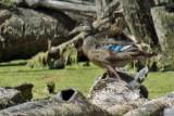6833 Wood Duck - verified