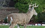 3136-8-pt-buck