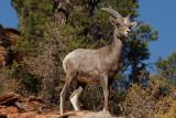 24 Desert bighorn sheep