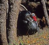 52 Turkey behind a tree