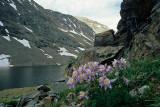 5 Colorado Columbines, Summit County