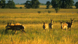 27 Antelope herd
