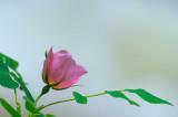 34 Wild Rose