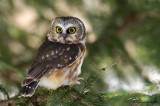 Petite nyctale -- Northern Saw-whet Owl