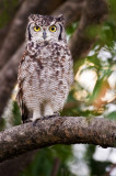 Grand-duc africain -- Spotted Eagle-Owl