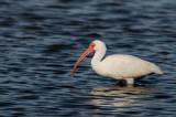 Ibis blanc -- American White Ibis