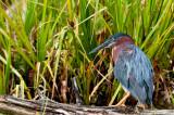 Héron vert -- Green Heron
