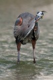 Grand héron -- Great Blue Heron