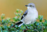 Moqueur Polyglotte -- Northern Mockingbird