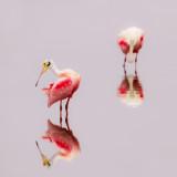 Spatules rosées -- Roseate Spoonbill