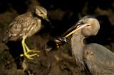 Grand héron et bihoreau violacé juvénile -- Great Blue Heron and Yellow-crowned Night-Heron juvenile
