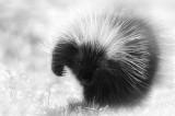 Porc-épic -- Porcupine