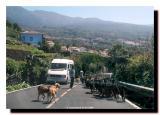 Herd of Goats on Highway