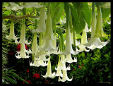 Brugmansia in our Garden.jpg