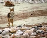 coyote6.jpg