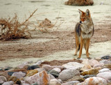 coyote7.jpg