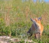 foxcubgaze.jpg