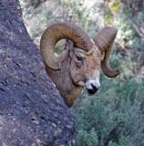 Ram2.jpg