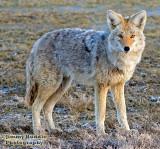 coyote10.jpg
