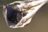 Spider's cradle (Gibbaranea bituberculata)