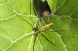 Micrommata virescens (male)