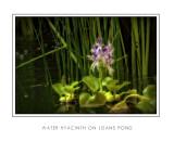 Water Hyacinth On Joans Pond