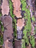 Pine bark & fluorescent moss