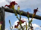 Orchard Lilies