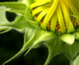 Sunflower: Ready to Open
