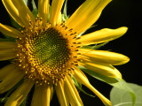 Sunflower with Afternoon Shadows