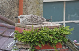 Young gull on nest