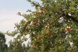 Apple tree near ruins