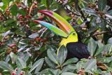 Toucans, Barbets, Jacamars and Puffbirds