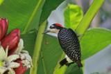 Woodpeckers, Woodcreepers