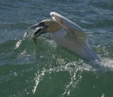 Gannet going for the bait