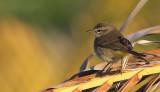 Paruline a couronne rousse  - Palm Warbler