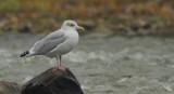 Goeland Argenté - Herring Gull