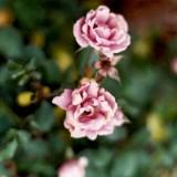 Film Roses