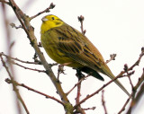 Yellowhammer  (Goldammer )