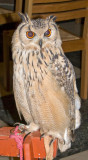 Eagle Owl in the Cathedral