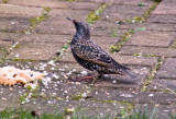 Starling New Years Day 2009