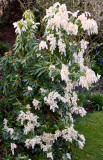 Blossom in the garden April 2009