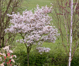Amelanchier blossom in the garden 10 April 2009