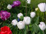 Tulips  April 2009