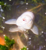 Jaws (one of the pond fish)